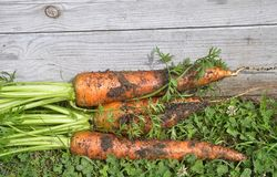 Fresh carrots at raised bed. Colorful and crisp image of fresh carrots at raised bed Royalty Free Stock Photo