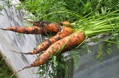 Fresh carrots on raised bed. Colorful and crisp image of fresh carrots on raised bed Stock Photo