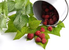 Red raspberries with tin bucket and leaves on white. Colorful and crisp image of red raspberries with tin bucket and leaves on white Royalty Free Stock Image