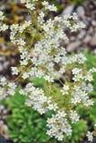 Silver saxifrage (Saxifraga crustata) stock photography