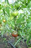 Tomato plants and fruits in green house Stock Photo