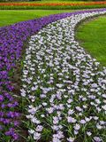 Colorful crocus bloom at the Keukenhof Gardens. Violet, yellow, white crocuses, Crocus sativus, Crocus tommasinianus bloom at the Keukenhof Gardens in the stock photography