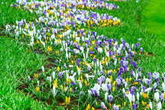 Colorful Crocus flowers blossom in dutch spring garden Stock Photos