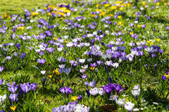 Colorful Crocus meadow Stock Image