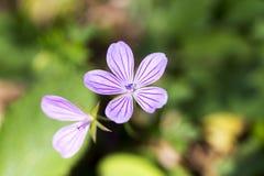 Colorful crocus wild purple flower closeup Stock Photos