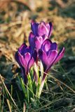 Colorful crocuses as early spring symbol. royalty free stock image