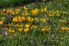 Colorful crocuses growing in the garden. Among the grass Royalty Free Stock Photo