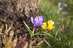 Colorful crocuses. In the meadow Stock Images