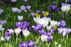 Colorful crocuses on the meadow. A lot of Colorful crocuses on the meadow in the spring sunny day Stock Images