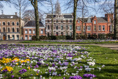 Colorful crocuses at the Ossenmarkt in Groningen. Netherlands Stock Photography