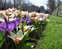 Colorful crocuses and tulips blooming in spring in the famous Dutch tulip park. Taken in Keukenhof, Netherlands stock photo