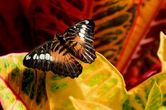 Free Colorful Croton And Butterfly Stock Images - 31996844