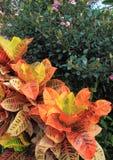 Colorful Croton Indian Hawthorn Shrub Stock Photography