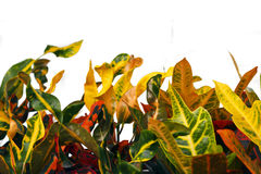 Colorful croton leaf Stock Image