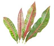 Colorful Croton leaf isolated stock image