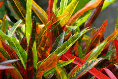 Free Colorful Croton Leaves Background Royalty Free Stock Photos - 83311478