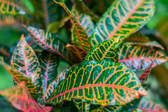 Colorful croton leaves for background. Colorful croton leaves in the wild Thailand nature for background Royalty Free Stock Photo