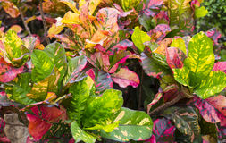 Free Colorful Croton Leaves In Jungle Stock Photography - 87517532