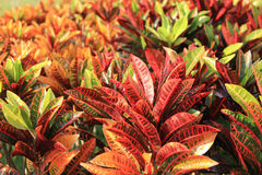 Colorful croton leaves Royalty Free Stock Image