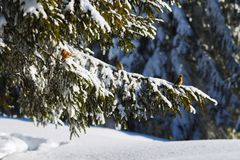 Colorful curious crossbill sits on the snowy branches. Of huge spruce trees, accompanied by friends and looking into the camera. Sunny day in winter forest Stock Photos