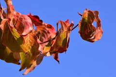 Colorful curly yellow and red to orange leaves of Japanese Dogwood Cornus Kousa during autumn season, blue sky background Stock Images