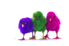 Colorful of Cute Chicks Stock Image