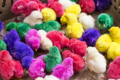 Colorful cute little baby chicken Stock Photo