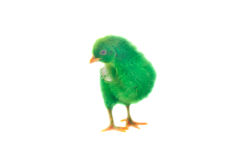 Colorful cute little baby chicken on white background Royalty Free Stock Image