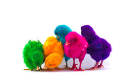 Colorful cute little baby chicken white background Stock Photography