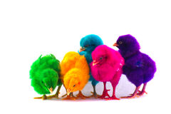 Colorful cute little baby chicken white background Royalty Free Stock Photography