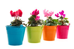 Colorful Cyclamen Royalty Free Stock Photos