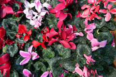 Colorful Cyclamen Stock Photo