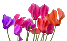 Colorful cyclamen flower on a white background Royalty Free Stock Images