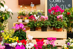 Colorful cyclamen flowers in pots in flower shop Stock Photos