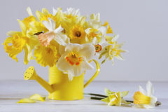 Colorful daffodils in full bloom on white wooden table Royalty Free Stock Image