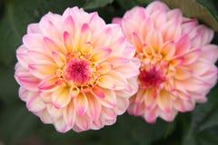 Colorful Dahlia Stock Photo