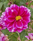 Colorful dahlia flower close up Royalty Free Stock Photos