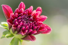 Colorful Dahlia Flower Stock Image