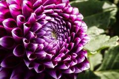 Colorful Dahlia Flower Royalty Free Stock Photos