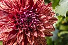 Colorful Dahlia Flower Stock Photos
