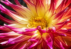 Colorful Dahlia Flower Royalty Free Stock Photography