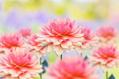 Colorful dahlia flower. Group of pink Dahlia flowers in the garden Royalty Free Stock Image