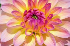 Dahlia flower. Colorful dahlia flower with morning dew drops stock photos