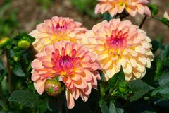 Dahlia flower. Colorful dahlia flower with morning dew drops stock photography