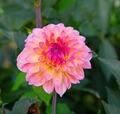 Dahlia flower. Colorful dahlia flower with morning dew drops royalty free stock image