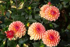 Dahlia flower. Colorful dahlia flower with morning dew drops stock photo