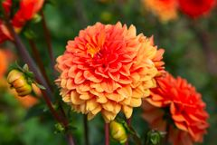 Dahlia flower. Colorful dahlia flower with morning dew drops royalty free stock photography