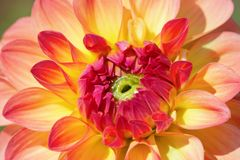 Dahlia flower. Colorful dahlia flower with morning dew drops royalty free stock photo