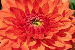 Dahlia flower. Colorful dahlia flower with morning dew drops royalty free stock photos