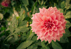Colorful dahlia flower pink in autumn garden Royalty Free Stock Photos